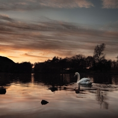 Swanning Around In The Gloaming